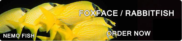 Foxface/Rabbit